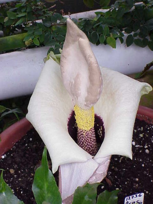 "OR Amorphophallus prainii   (yes 2 "" i''s "" at the end)  Another similar and related plant, but smaller"