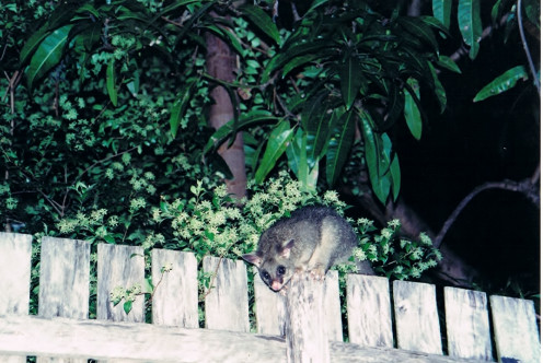 One of the many possums I've enjoyed watching in my backyard.