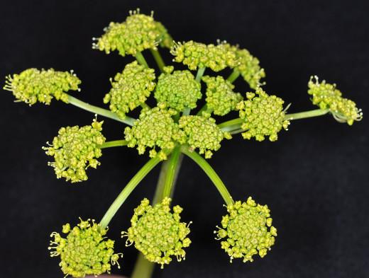 Lomatium flower