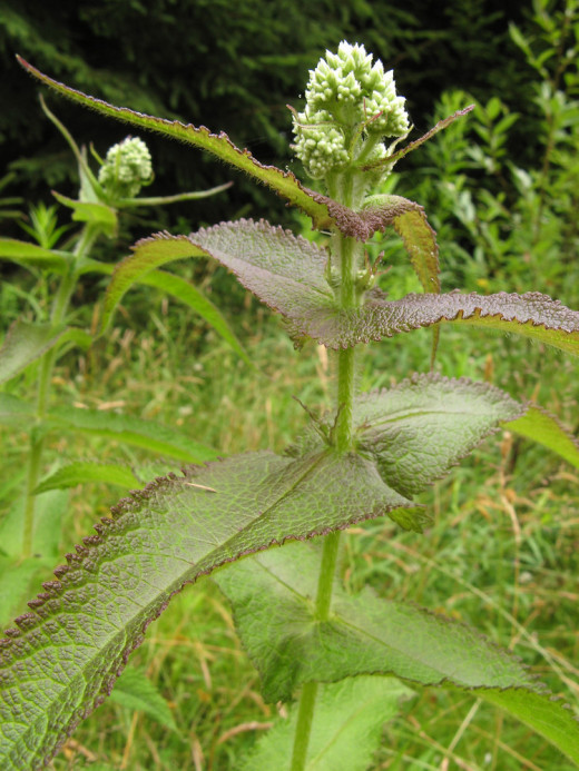 Boneset--showing perforated leaves