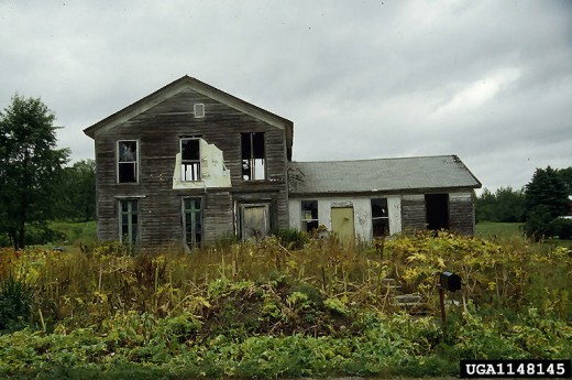 Abandoned house with a Giant HogWeed infestation
