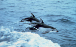 """""""Porpoising"""" is one of the ways dolphins play, although it's also easier to travel this way."""
