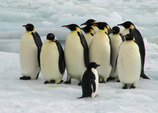 A Group Of Emperor Penguins Standing Beside An Adelie Penguin.