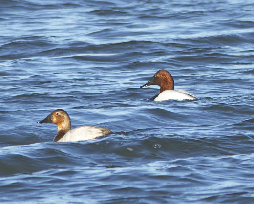 Canvasbacks(female on left)