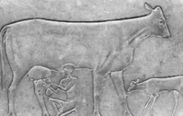 This stone carving, dated to be from 3100 BC shows and Egyptian milking a cow
