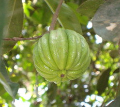 Does Garcinia Cambogia Work for Losing Weight?