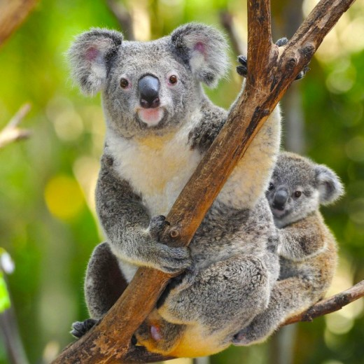 An Adult And Baby Koala Bear.