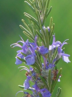 Picture of Flowering Rosemary.