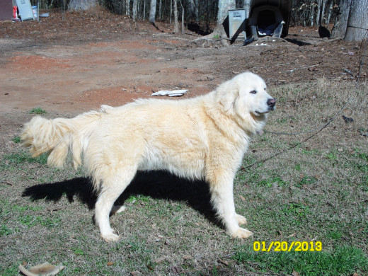 Watchful goat herder, Great Pyrenees