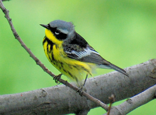 How many identifying details can you find on this male Magnolia Warbler?