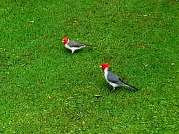 Brazilian Red Crested Cardinals