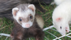 Are you ready to adopt FERRETS?