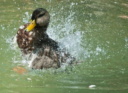 Ducks Splashing