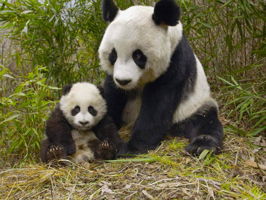 A Giant Panda With Its Baby.