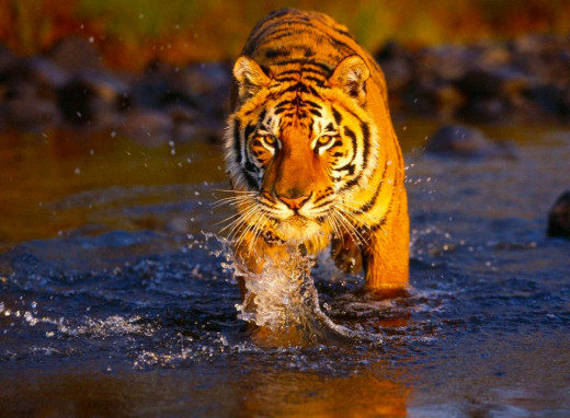 A Snapshot Of The Bengal Tiger.