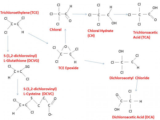 The proposed breakdown of Trichloroethylene in the body.