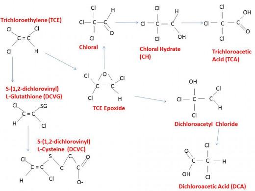 The proposed breakdown of Trichloroethylene in the body.
