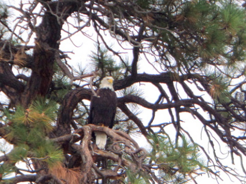 While I was kayaking on the Flathead River in Montana, I saw dozens of bald eagles in the trees along the way.