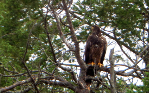 Is this a golden eagle or an immature bald eagle?  I took this photo from a moving kayak on the Flathead River in Montana.  That's why it is a little blurry.