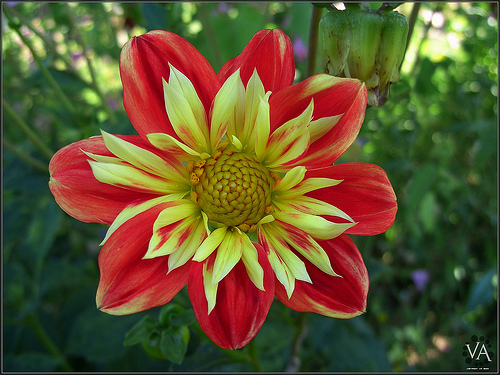 Beautiful flower (dahlia) from Transamiro flickr.com