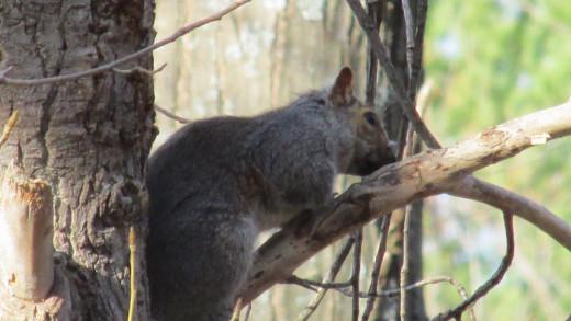Grey Squirrel resting on a tree branch.
