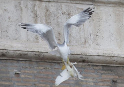 What does it mean when peace Doves get attacked by Gulls?