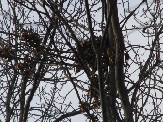 Another kind of nest in the top of some slender branches.