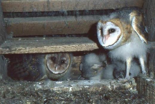 Barn Owls use a non-nest approach!