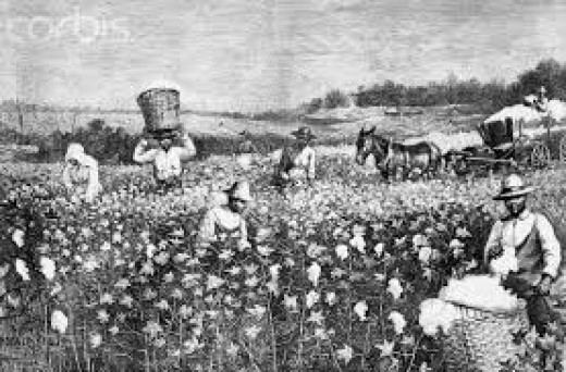 The cotton field.
