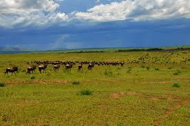 Wildebeest gathering at the Serengeti--journey to the Mara