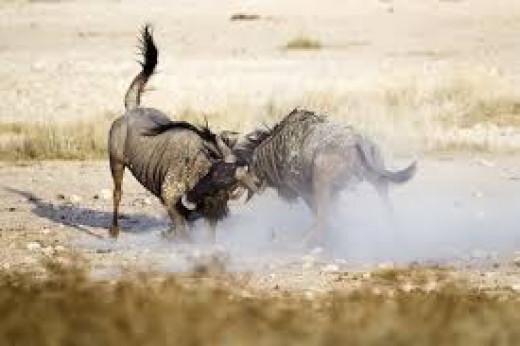 Wildebeest Facts--Fighting