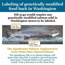 Will You Eat GMO Salmon?