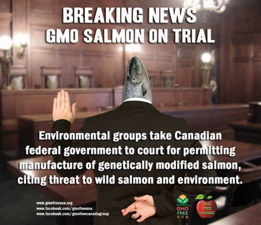 "Lawyers for Environmental groups are suing Canada over the approval of GMO salmon. ""By granting approval for genetically modified salmon without obtaining all the legally required information, Canada has failed to meet their legal obligations."