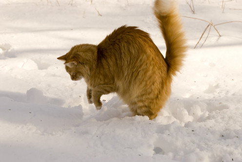 The cat pounces in the snow as it looks for hidden prey.