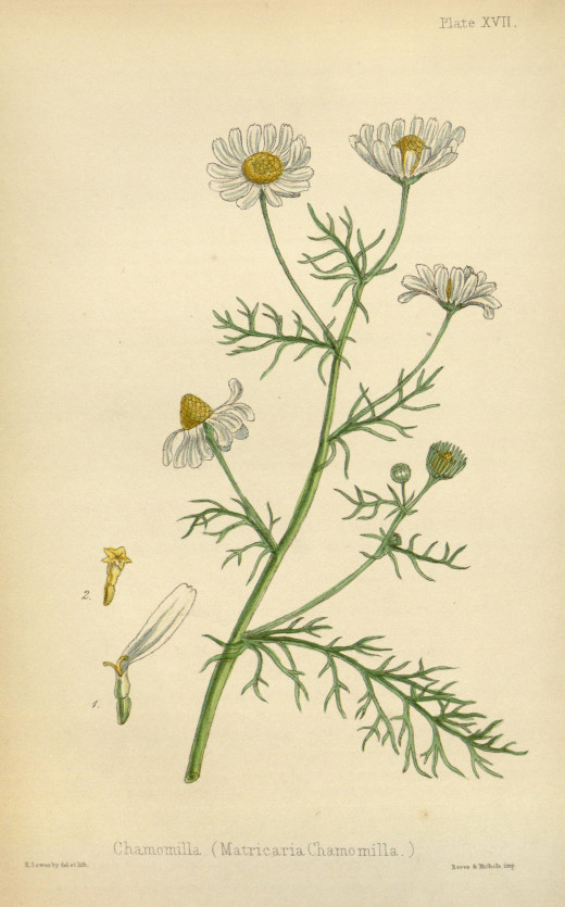 The Flora Homaeopathica 1852-1853