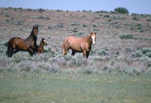 Wild Horses: Where and How They Live