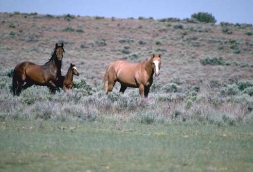 Wild horses in Utah image:wikimedia