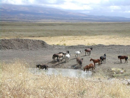 Wild horses at a water source image:wikimedia