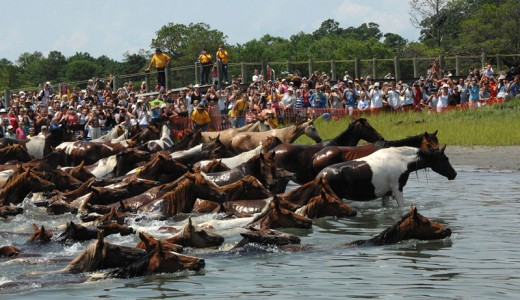 Assateague ponies swim across the bay every year. image:wikimedia