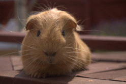 Guinea Pigs for Stress Relief