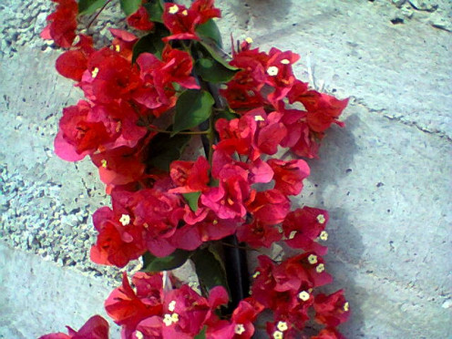 My beautiful Bougainville