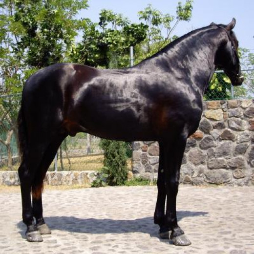 Farm horse similar to those Truman was developing.