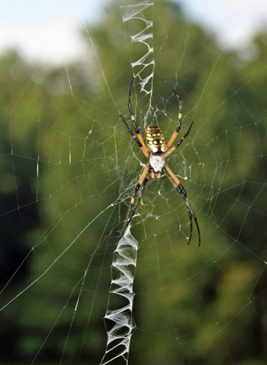 Sadly, the garden spider lives only one year.