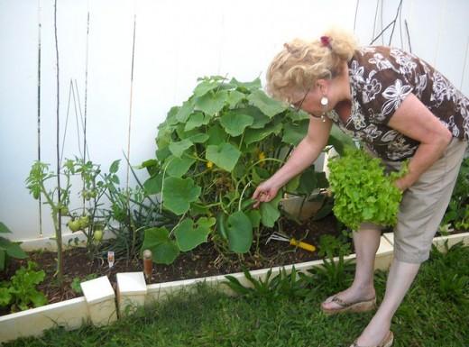 Cucumbers growing in raised beds in Hawaii.