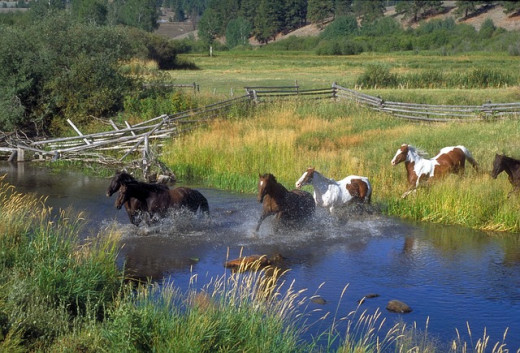Horse ranching in Montana.