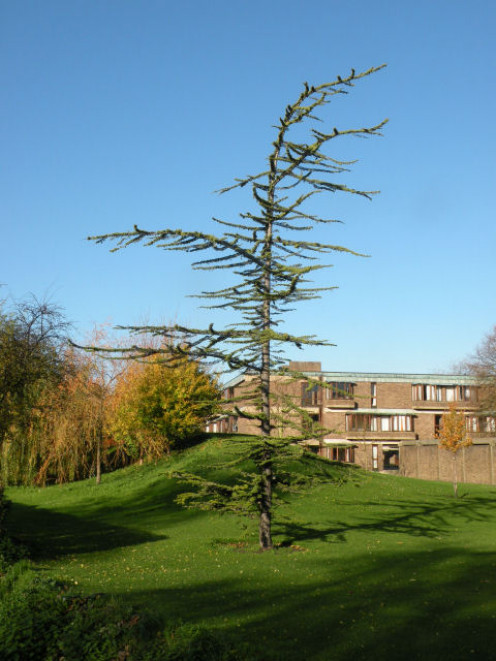 Young Cedrus libani outside Churchill College, Cambridge