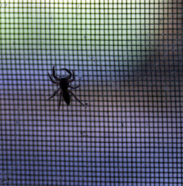 This little spider has been living in my office window at least two years.