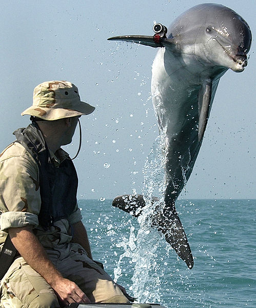Dolphin wearing a locating pinger while heading to clear mines.