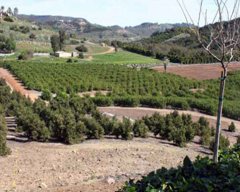 Hass avocado farm in California. The Hass avocado makes up 95% of avocados sold today.