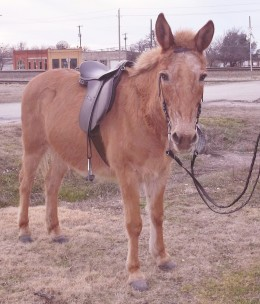 Here's Rojo in his saddle and bridle after a ride.